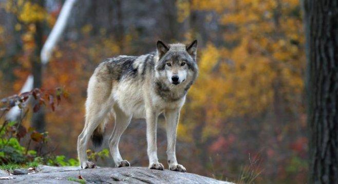 Мужчина сигма-самцец: одинокий волк