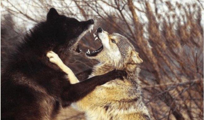 Миф и реальность об альфа-самце на примере стаи волков
