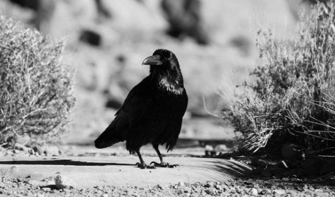 Чёрный ворон: тотем и символизм этой птицы в древних культурах мира